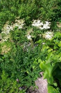 Filipendula_vulgaris